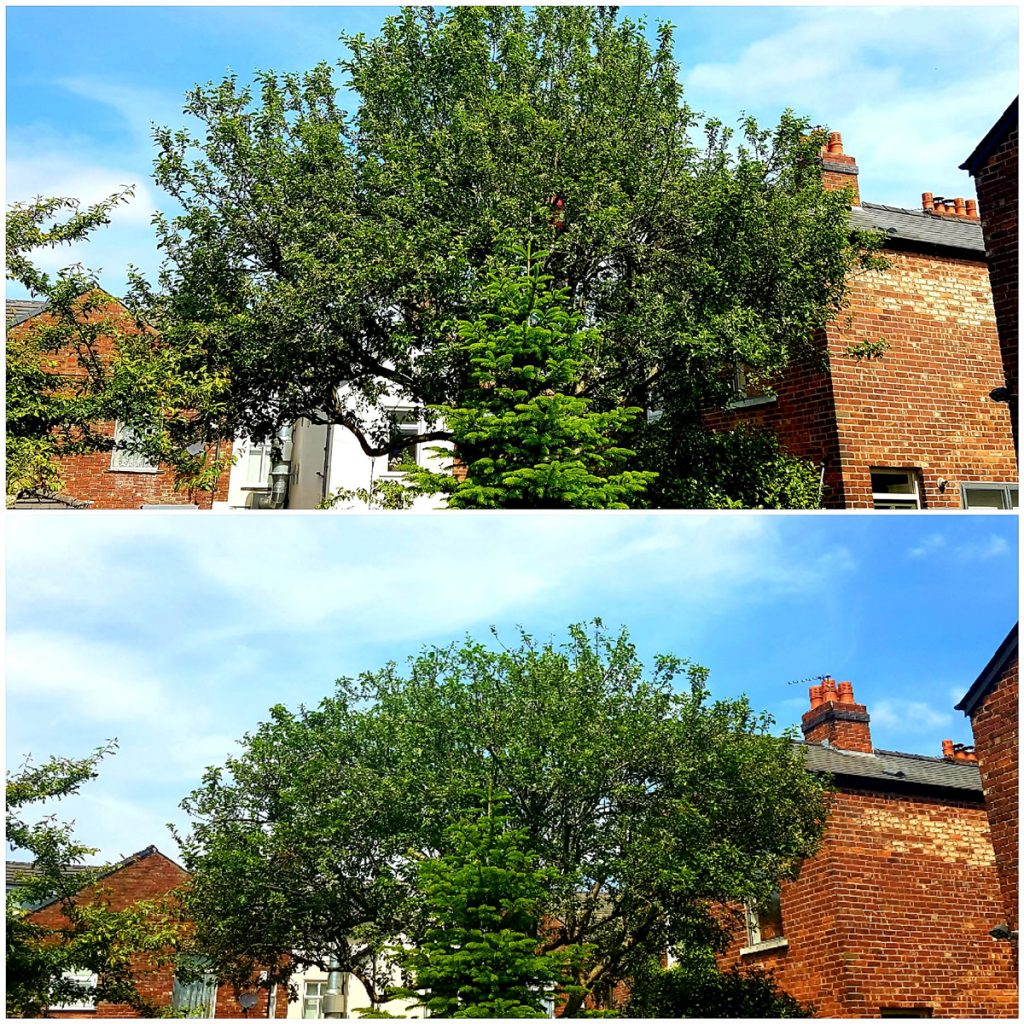 Crown reduction before and after. Tree surgeon Manchester