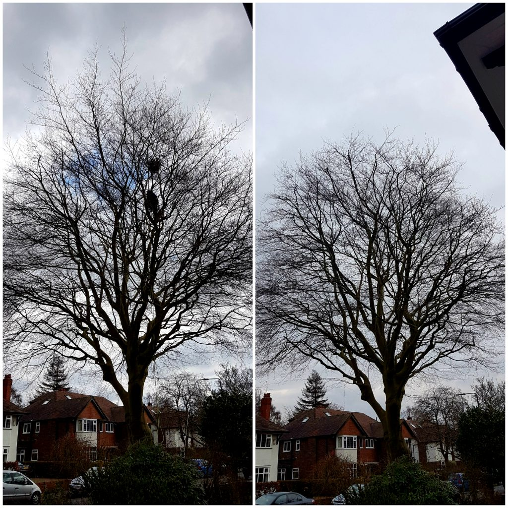 Beech tree reduction. Tree Services Manchester.