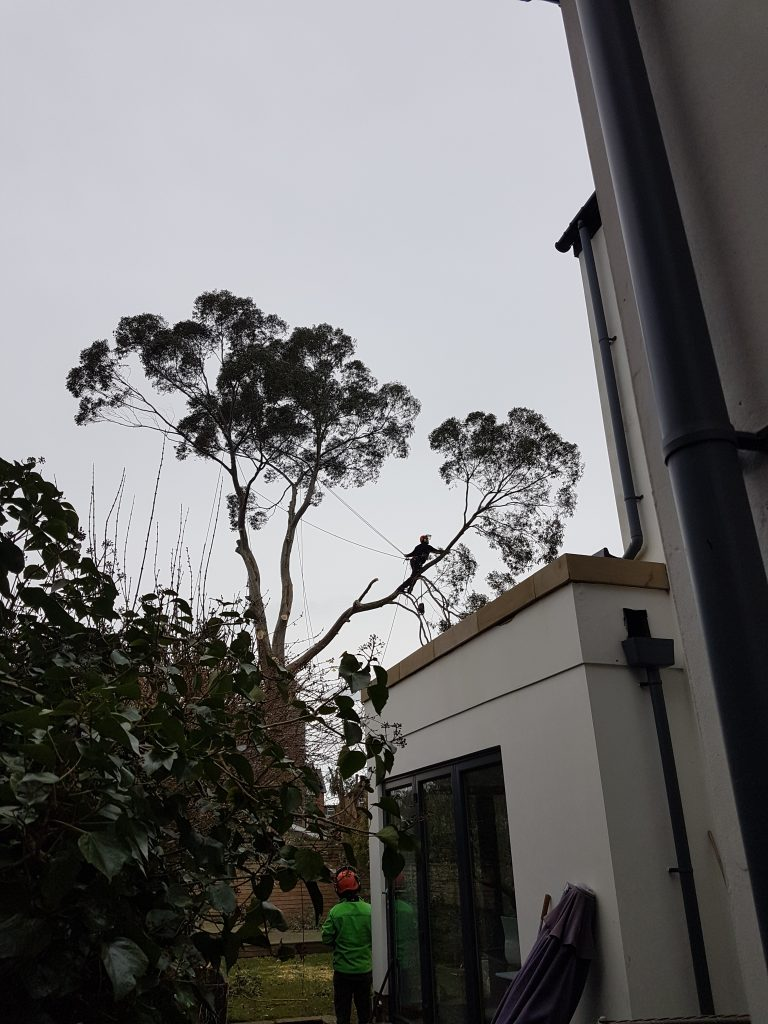 Eucalyptus tree removal, Manchester
