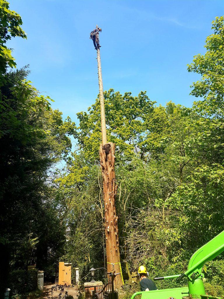 Leylandii tree removal