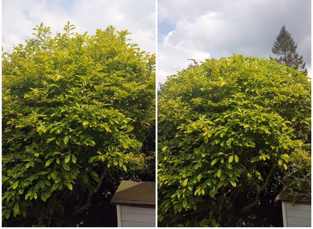 Magnolia pruning