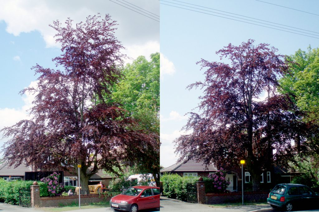 Purple Beech reduction