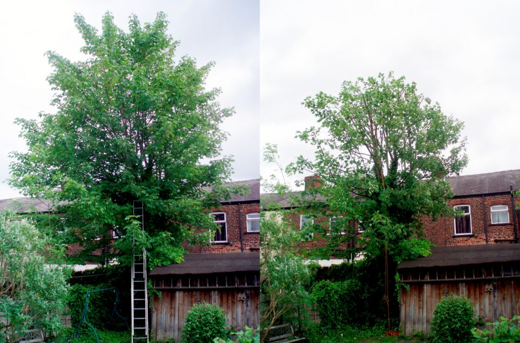 Sycamore before and after