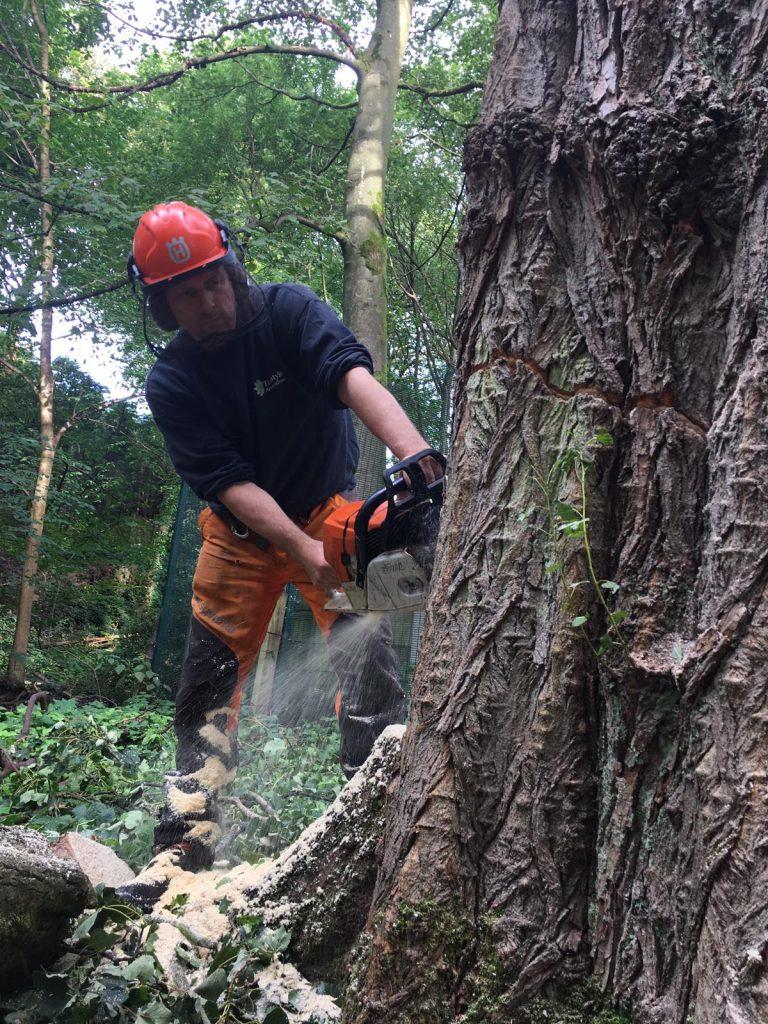 Large Tree felling by Steve Canham