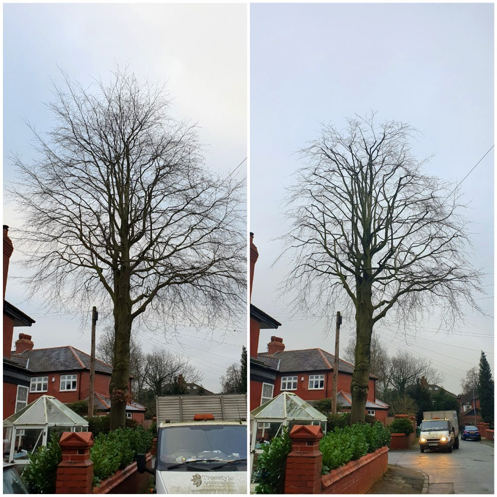 Tree Surgery in Didsbury. Purple Beech Tree pruning, before and after (2012).