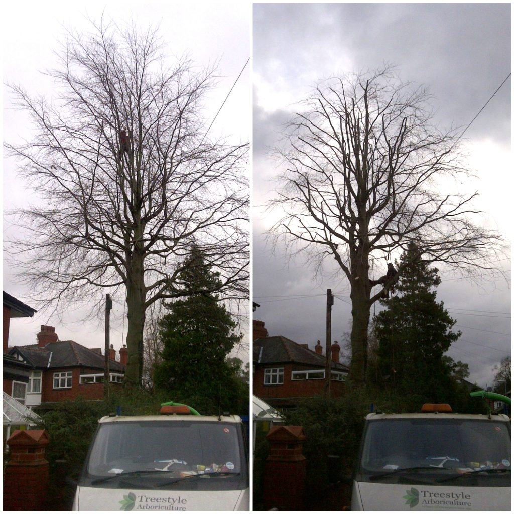 Tree Surgery in Didsbury. Purple Beech Tree pruning, before and after (2012)